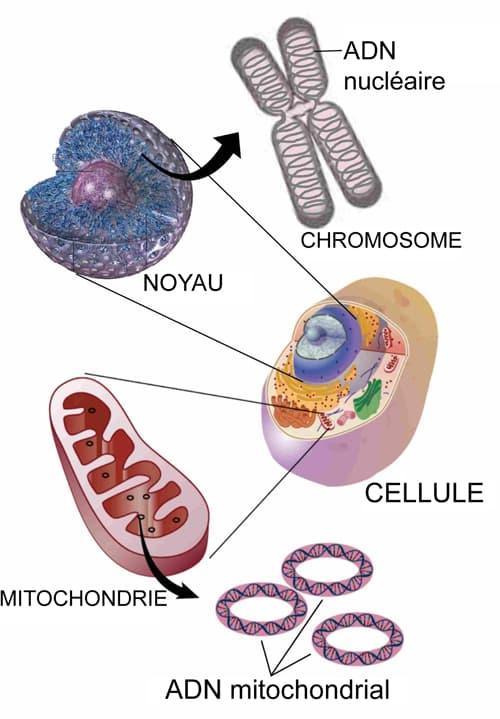 cellule et ADN mitochondrial