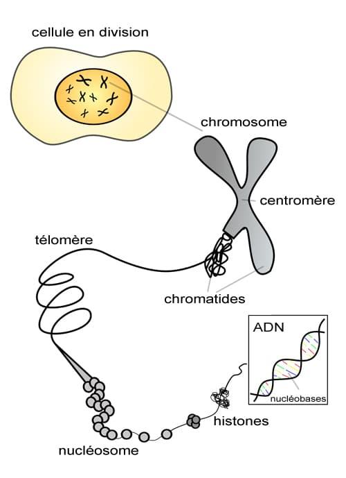 cellule et chromosome