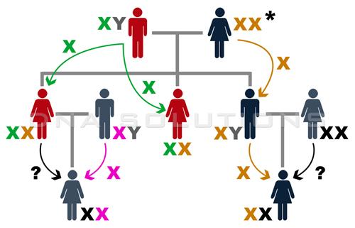 ADN du chromosome X - Arbre généalogique simple de trois générations qui montre comment se transmet le chromosome X des parents aux enfants