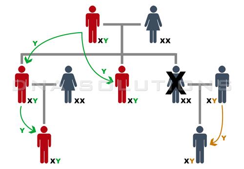 ADN du chromosome Y - Arbre généalogique simple de trois générations qui montre comment se transmet le chromosome Y de père à fils